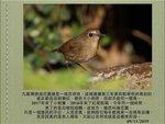 1109 白喉短翅鶇