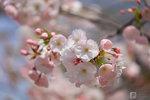 Sakura_07