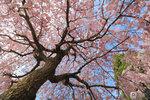 Sakura_112