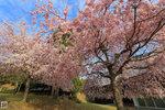 Sakura_116