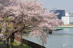 Sakura_51