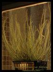 Drosera filiformis green3