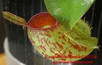 N.ampullaria  紅斑點紅唇