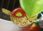 N.ampullariaN.ampullaria 紅斑點紅唇