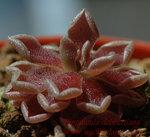 Pinguicula debbertiana4